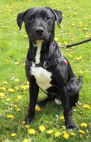 timide caa 6450 chien crois233 labrador 224 adopter dans la