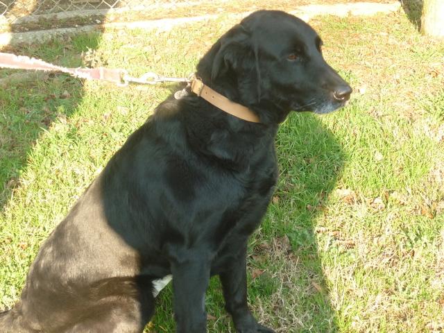 luna chien crois labrador adopter dans la r gion midi pyr n es. Black Bedroom Furniture Sets. Home Design Ideas