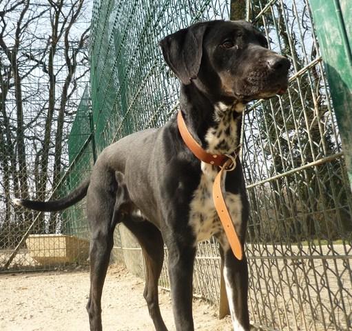 orto sauvetage chien crois labrador adopter dans la r gion rh ne alpes. Black Bedroom Furniture Sets. Home Design Ideas