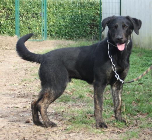 Skeud : chien croisé labrador berger à adopter dans la