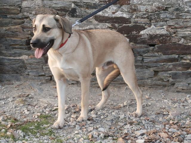 Ralphy. : chien croisé labrador/berger belge. à adopter