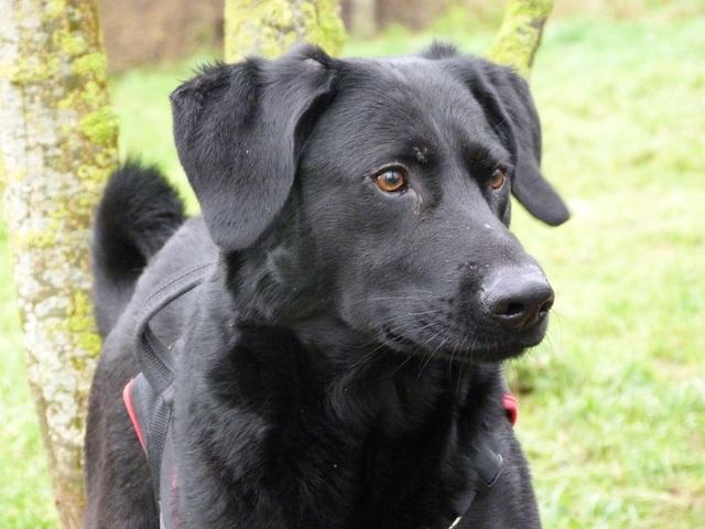 Kazar (réservé) : chien croisé labrador / malinois à