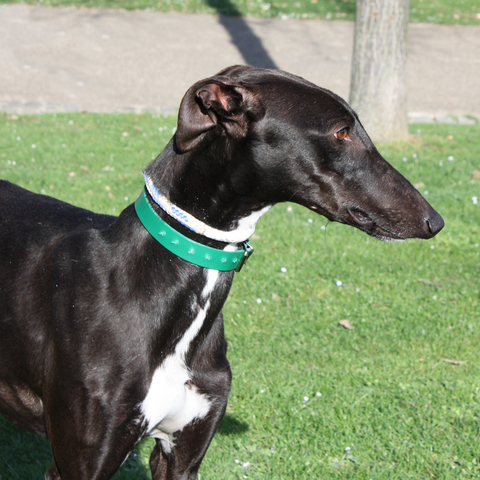 Galgo Chien-croise-levrier-galgo-adopter-98151-4