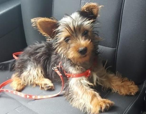 kookai chien crois yorkshire adopter dans la r gion provence alpes c te d 39 azur. Black Bedroom Furniture Sets. Home Design Ideas