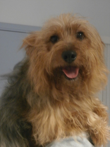 carambar chien crois yorkshire adopter dans la r gion nord pas de calais. Black Bedroom Furniture Sets. Home Design Ideas