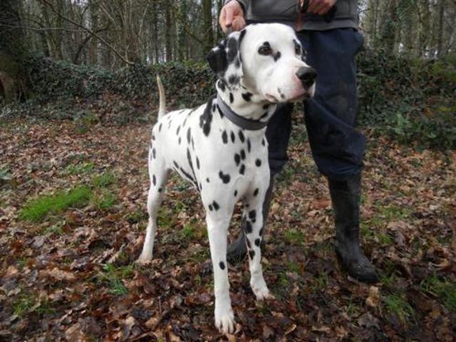 Pongo Chien Dalmatien A Adopter Dans La Region Bretagne