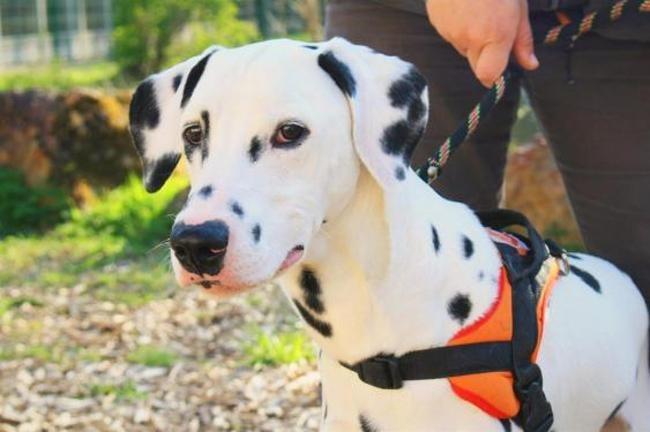 Thai Chiot Dalmatien A Adopter Dans La Region Centre