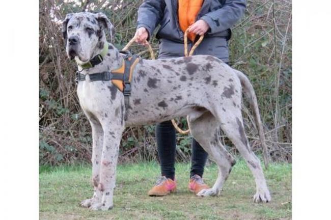 Omer Vaa21277 Chiot Dogue Allemand A Adopter Dans La Region Ile De France