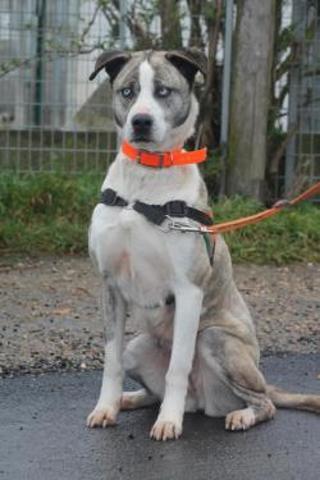 Lilou : chien dogue argentin croisé husky à adopter dans