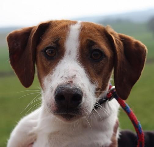 Bianca chiot epagneul breton crois jack russel - Race chien volt ...