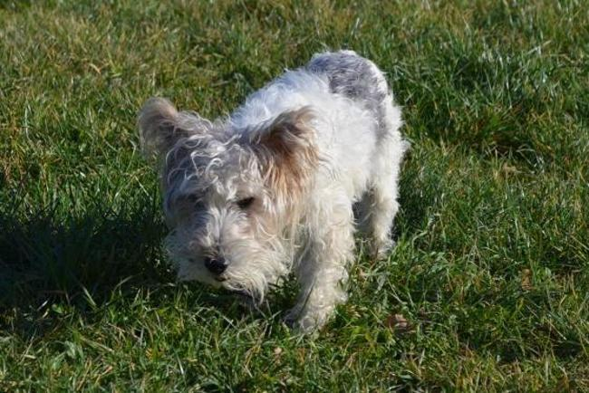 SCRATCH - fox terrier 8 ans - Spa de Chateau d'Olonne (85) Chien-fox-terrier-poil-dur-adopter-360324-2