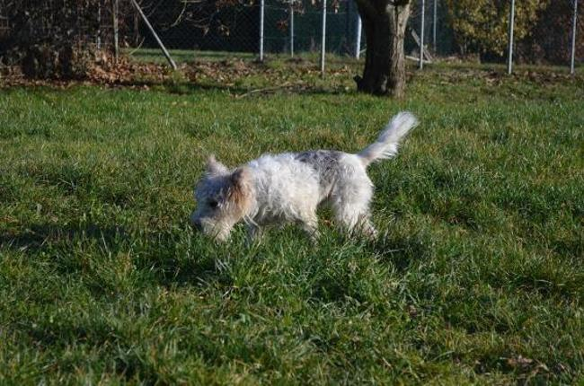 SCRATCH - fox terrier 8 ans - Spa de Chateau d'Olonne (85) Chien-fox-terrier-poil-dur-adopter-360324-3
