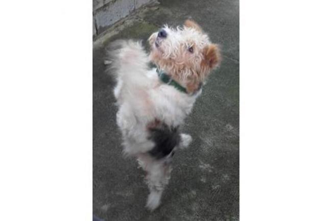 NENESS - fox terrier 5 ans - Spa de Plouhinec (29) Chien-fox-terrier-poil-dur-adopter-373231-4