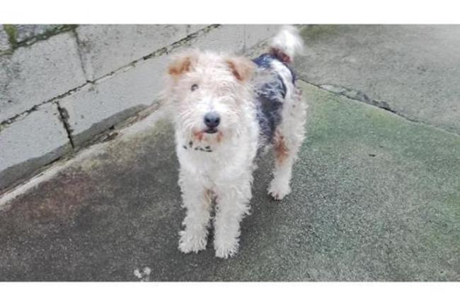 NENESS - fox terrier 5 ans - Spa de Plouhinec (29) Chien-fox-terrier-poil-dur-adopter-373231-5