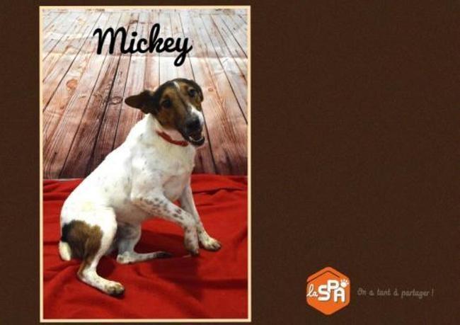 MICKEY - fox terrier à poil lisse 2 ans - Refuge du Cotentin à Tollevast (50) Chien-fox-terrier-poil-lisse-adopter-400380