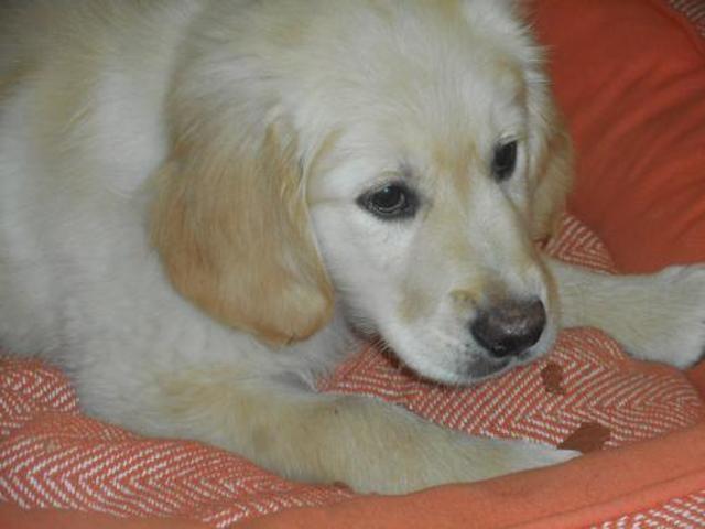 Omix Chiot Golden Retriever A Adopter Dans La Region Languedoc Roussillon