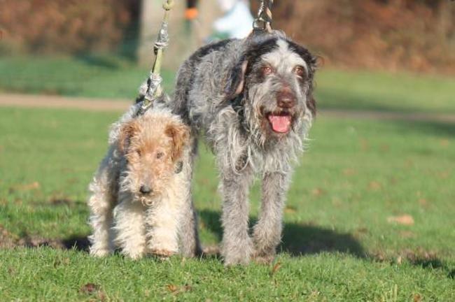 BOSTON griffon korthal 14 ans et TARO fox terrier 12 ans - Spa de Gennevilliers (92) Chien-griffon-a-poil-dur-korthals-adopter-448619-3