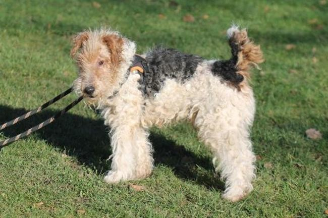 BOSTON griffon korthal 14 ans et TARO fox terrier 12 ans - Spa de Gennevilliers (92) Chien-griffon-a-poil-dur-korthals-adopter-448619-7