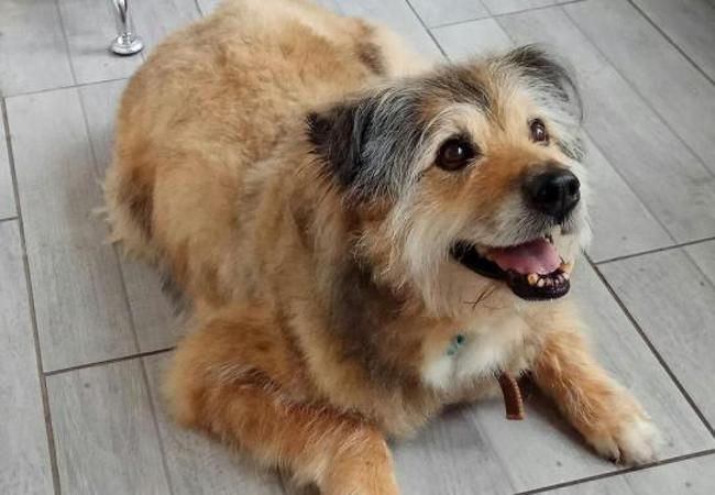celio : chien griffon à adopter dans la région lorraine
