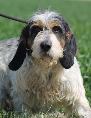 Volt chien griffon bleu de gascogne adopter dans la - Race chien volt ...