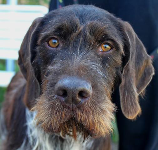 Korax : chien griffon korthal à adopter dans la région