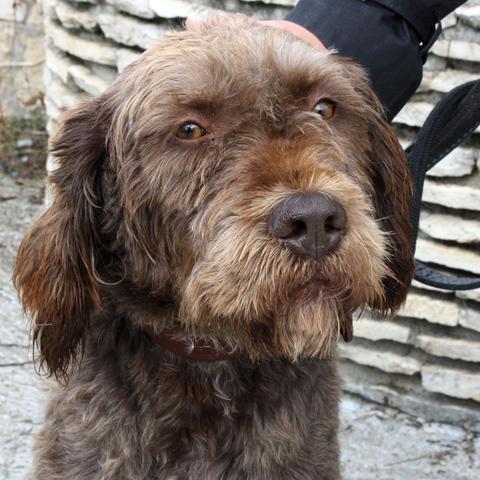 Fute : chien griffon korthal à adopter dans la région Ile