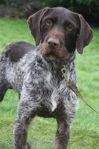 Icare : chien griffon korthal à adopter dans la région Ile