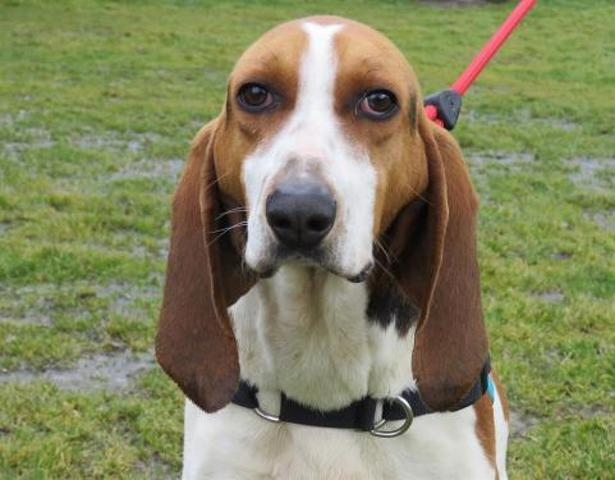 HUGGY - beagle harrier 5 ans - Spa de Sainte Marie de Redon (35) Chien-harrier-adopter-366685