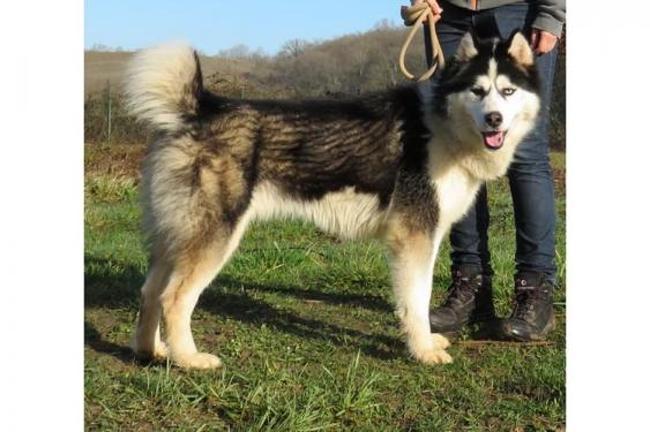 tonnerre de brest vaa20395 chien husky siberien adopter dans la r gion ile de france. Black Bedroom Furniture Sets. Home Design Ideas