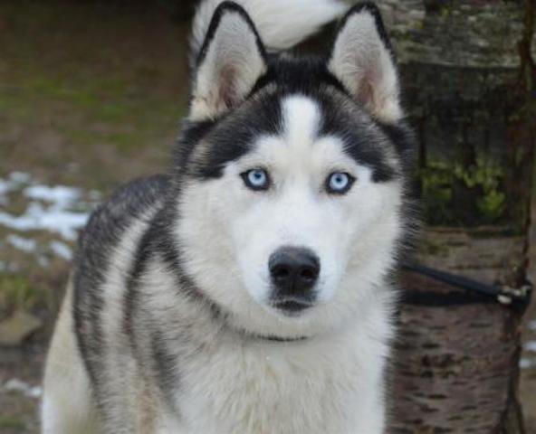 Dingo Chao9499 Chiot Husky Siberien A Adopter Dans La Region Ile De France