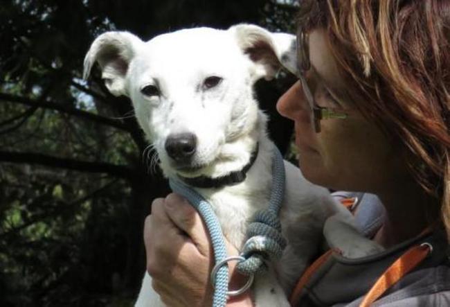 FALCO - jack russel 5 ans - Spa de Clion sur Mer (44) Chien-jack-russel-terrier-adopter-367470-4