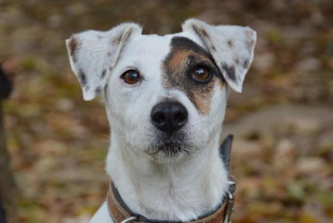 Geko Cha9281 Chien Jack Russel Terrier A Adopter Dans La Region Ile De France