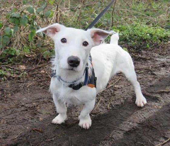 Hidalgo Chien Jack Russel Terrier A Adopter Dans La Region Haute Normandie