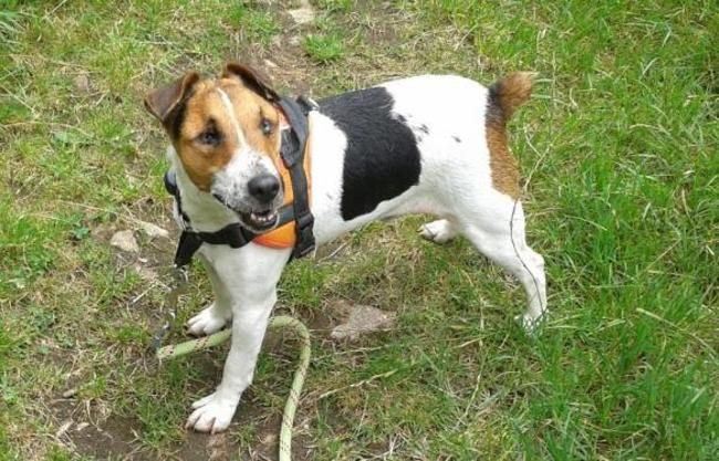 ITOT - jack russel 5 ans (aveugle)  Spa de Redon (35) Chien-jack-russel-terrier-adopter-394467-7