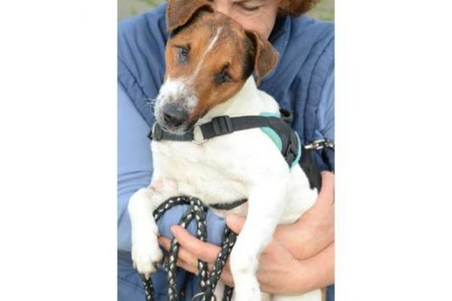 ITOT - jack russel 5 ans (aveugle)  Spa de Redon (35) Chien-jack-russel-terrier-adopter-394467-9