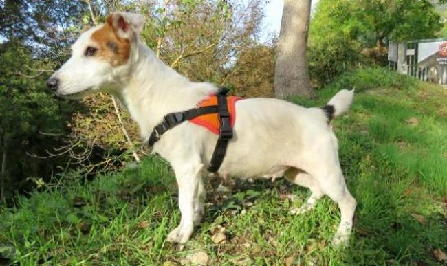 CALINE - jack russel 11 ans - Spa de Millau (12) Chien-jack-russel-terrier-adopter-395508-2