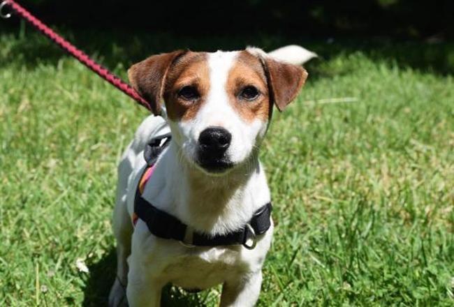 Mango Chien Jack Russel Terrier A Adopter Dans La Region Bretagne