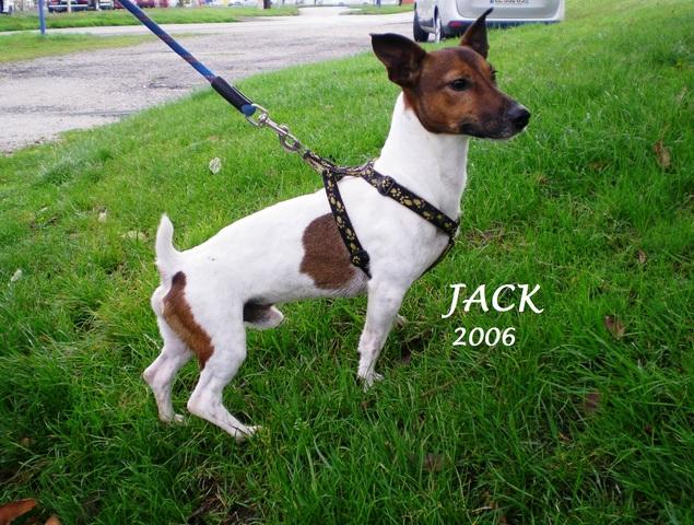 jack chien jack russel terrier adopter dans la r gion. Black Bedroom Furniture Sets. Home Design Ideas