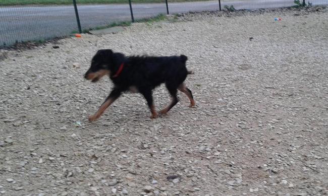 Volt 251768 en placement provisoire chien jadg terrier - Race chien volt ...