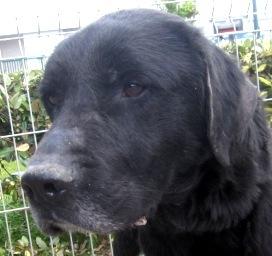 Brest : chien labrador à adopter dans la région Bretagne