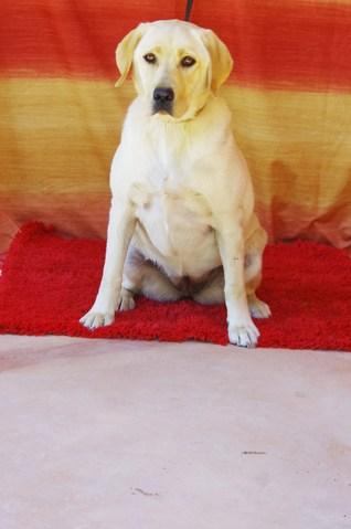 havane chien labrador adopter dans la r gion ile de france. Black Bedroom Furniture Sets. Home Design Ideas