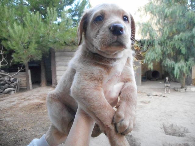 Chiot labrador x : lénox 2 mois : chiot labrador croisé à