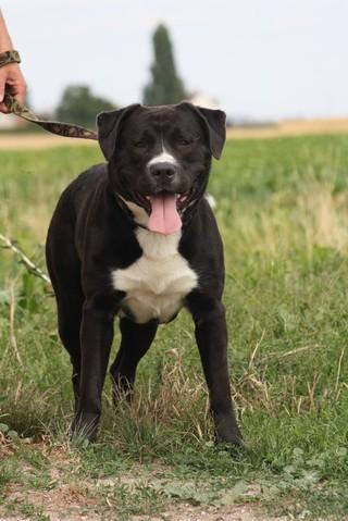 Sparky Chien Labrador Crois 233 Cane Corso 224 Adopter Dans