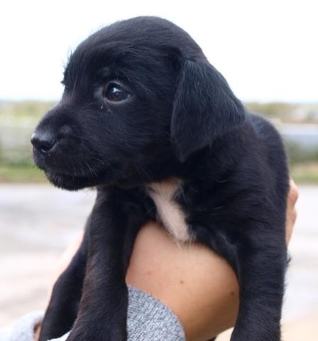 Loona 1 mois et demi : chiot labrador croisé griffon à