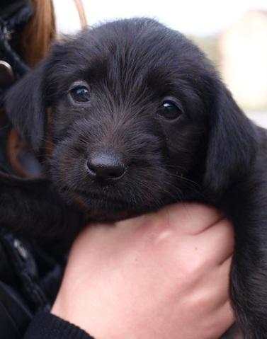 Lika 1 mois et demi : chiot labrador croisé griffon à