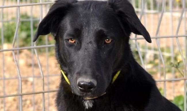 Ta ga chien labrador retriever adopter dans la - Race chien volt ...