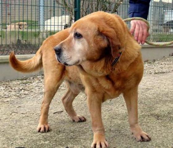 DOUDOU -  labrador 12 ans - Spa de Crozon (29) Chien-labrador-retriever-adopter-405785-2