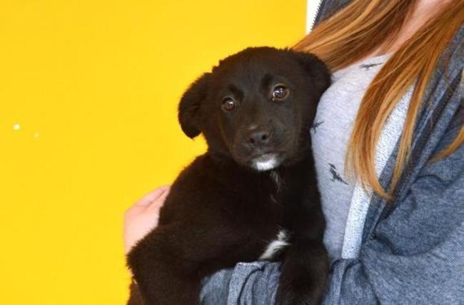 Prinprenelle Caa8645 Chiot Labrador Retriever A Adopter Dans La Region Picardie