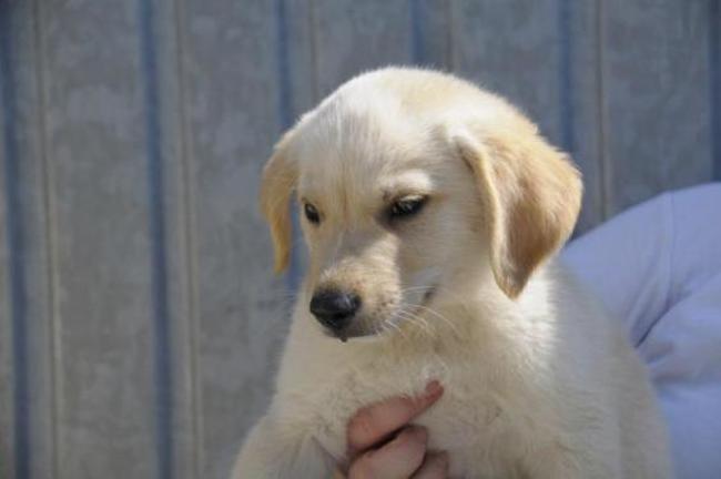 Pilote Chiot Labrador Retriever A Adopter Dans La Region Bretagne