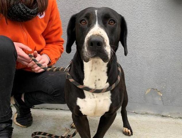 BELLE - labrador 3 ans - Spa de Cliron (08) Chien-labrador-retriever-adopter-459135